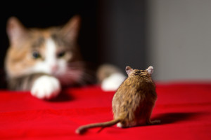 Cat hunting for little gerbil mouse on red table.